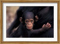 Infant Chimpanzee, Gombe National Park, Tanzania Fine-Art Print