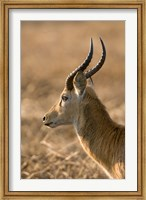 Puku, Busanga Plains, Kafue National Park, Zambia Fine-Art Print