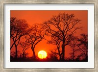 South Africa, Kruger NP, Trees silhouetted at sunset Fine-Art Print
