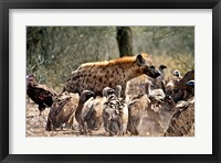 Spotted hyenas and vultures scavenging on a carcass in Kruger National Park, South Africa Fine-Art Print
