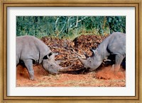 White Rhino, Square Lipped Rhino, Kruger, South Africa Fine-Art Print
