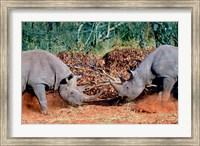 White Rhino, Square Lipped Rhino, Kruger, South Africa Fine-Art Print