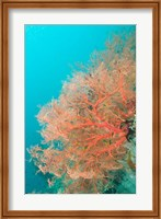 Sea Fan, Raja Ampat region, Papua, Indonesia Fine-Art Print