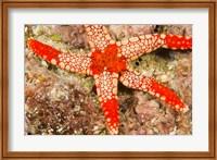 Sea Star, Banda Island, Indonesia Fine-Art Print
