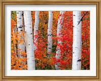 Aspens and Maples Fine-Art Print
