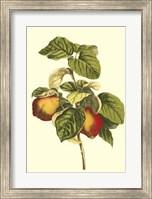 Bessa Pear Fine-Art Print