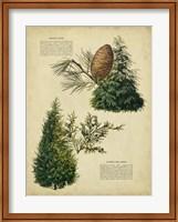Deodar Cedar & Eastern Red Cedar Fine-Art Print