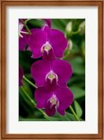 Singapore. National Orchid Garden - Pink Orchids Fine-Art Print