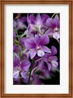 Singapore. National Orchid Garden - Purple/White Orchids Fine-Art Print