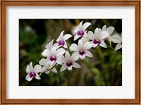 Singapore. National Orchid Garden - White Orchids Fine-Art Print