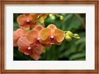Singapore. National Orchid Garden - Peach Orchids Fine-Art Print