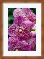 Singapore. National Orchid Garden - spotted Orchids Fine-Art Print