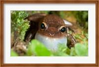 Common coqui frog, El Yunque NF, Puerto Rico Fine-Art Print