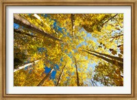 Aspens on the Canon Brook Trail Fine-Art Print