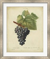 Antique Bessa Grapes I Fine-Art Print
