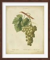Antique Bessa Grapes II Fine-Art Print