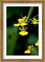 Singapore, Dancing Lady Orchid flower Fine-Art Print