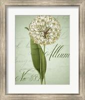 Allium II Fine-Art Print