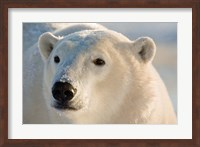 Canada, Manitoba, Hudson Bay, Churchill Polar bear Fine-Art Print
