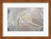 White Rose Closeup With Dew II Fine-Art Print