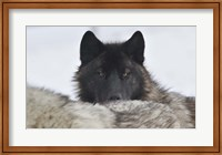Zoo Wolf 8 Fine-Art Print
