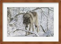 Zoo Wolf 3 Fine-Art Print