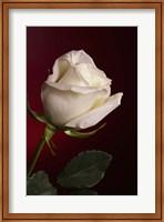 White Rose On Red Fine-Art Print