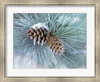 Frosted Pine Cone And Pine Needles II Fine-Art Print