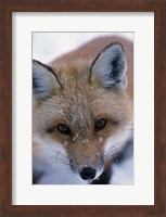 Red Fox And Winter Frost Fine-Art Print