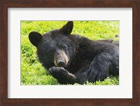 Black Bear On Grass Fine-Art Print