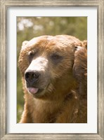 Brown Bear Tongue Out Fine-Art Print