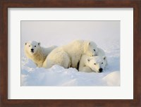 Cubs Playing with Polar Bear Fine-Art Print