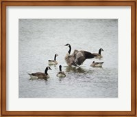 Show Off Canadian Geese Fine-Art Print