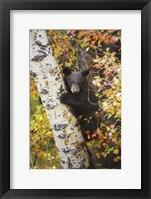 Bear up a Tree Fine-Art Print