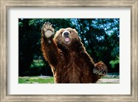 Grizzly Bear On Hind Legs Fine-Art Print