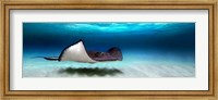 Southern Stingray, Grand Cayman, Cayman Islands Fine-Art Print