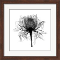 Rose,Open #2 X-Ray Fine-Art Print