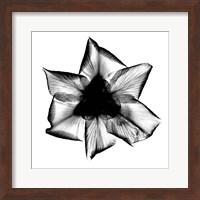 Iris, Japanese X-Ray Fine-Art Print
