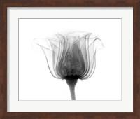 Rose ,Noma X-Ray Fine-Art Print