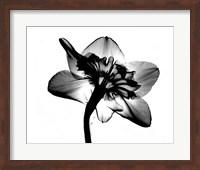 Jonquil X-Ray Fine-Art Print