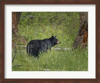 Black Bear Sow Watching Cubs Fine-Art Print