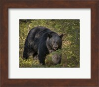 Black Bear Sow Fine-Art Print