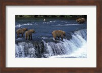 Group of Brown Bears in Lake Fine-Art Print