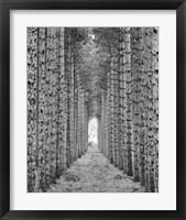 Red Pines Fine-Art Print