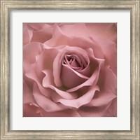 Misty Rose Pink Rose Fine-Art Print