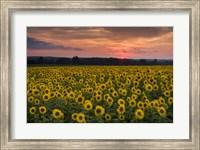 Taps over Sunflowers Fine-Art Print