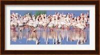 Lesser Flamingo, Lake Nakuru, Kenya Fine-Art Print