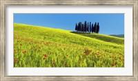 Cypress and Corn Field, Tuscany, Italy Fine-Art Print