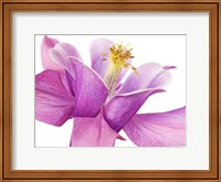 Dark Columbine Close-Up Fine-Art Print