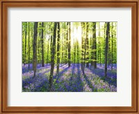 Beech Forest With Bluebells, Belgium Fine-Art Print